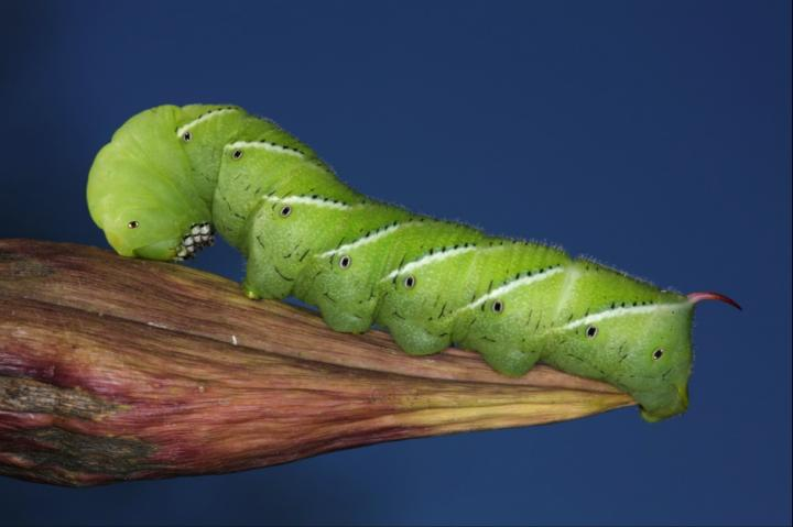 Genomics solutions to the riddle of the tobacco hornworm sphinx moth