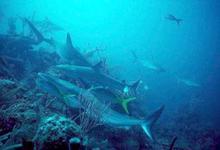 Sharks_Reef_web.jpg